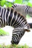 Zebra Eating Royalty Free Stock Photos