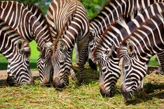 Zebra eating Royalty Free Stock Photos