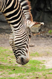 Zebra Eating Stock Images