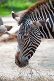 Zebra Eating Grass or Hay Stock Image