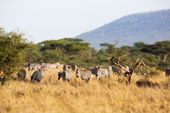 Zebra eating in Africa Royalty Free Stock Image