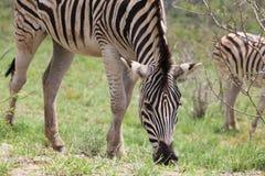 Zebra eating Royalty Free Stock Image