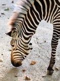Zebra eating Stock Photo