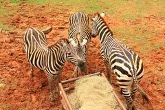 Zebra eating food. Two Zebras eating food in zoo Stock Image