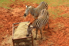 Zebra eating food. Two Zebras eating food in zoo Royalty Free Stock Images