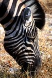 Zebra eating gras Royalty Free Stock Photos