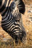 Zebra eating gras Royalty Free Stock Images