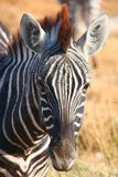 Zebra eating gras Stock Images