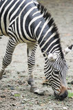 Zebra eating grass Stock Photos