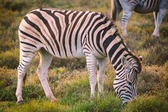 Zebra eating grass in Addo National Park, South Africa stock photography