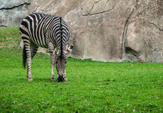Zebra eating grass. Zebra bows down to eat grass in an exhibit stock photography