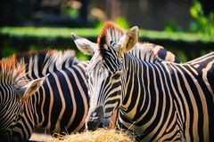 Zebra eating grass royalty free stock photography