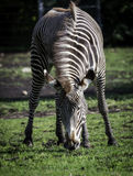 Zebra eating grass. Edmonton Valley Zoo is home to a number of Zebra's. This one in its enclose is eating grass Stock Photography
