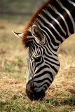 A zebra is eating grass in the forest on a sunny day. royalty free stock image