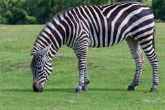 The zebra is eating the grass Royalty Free Stock Photos