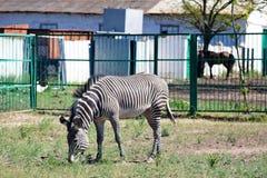 Zebra eating grass Stock Photos