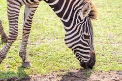 Zebra eating grass on the ground Royalty Free Stock Image