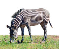 Zebra eating grass isolated on white Royalty Free Stock Image