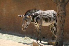 Zebra Eating Grass - Los Angeles Zoo Royalty Free Stock Photography