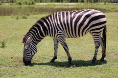 Zebra. A zebra eating grass in a meadow by a lake Stock Photos