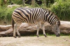 Zebra eating grass Stock Photo