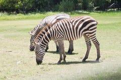 Zebra eating grass. Zebra in safari park Stock Photo