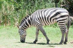Zebra eating grass. Zebra in safari park Stock Images