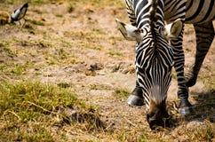 Zebra Eating Grass Selective Focus Photography Stock Photos