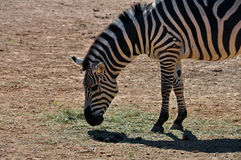 Zebra eating grass Stock Photo