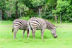 Zebra eating grass Royalty Free Stock Photos