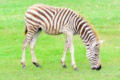 Zebra eating grass Stock Images