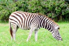 Zebra eating grass Royalty Free Stock Image