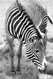 Zebra eating in grassland, Black and White Royalty Free Stock Photography