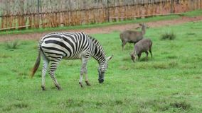 Zebra is eating green grass in the daytime.  stock footage