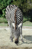 Zebra Eating Hay Royalty Free Stock Image