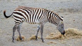 Zebra Eating Royalty Free Stock Images