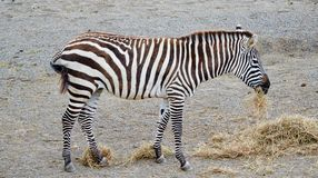 Zebra Eating Royalty Free Stock Photography