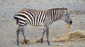Zebra Eating Royalty Free Stock Photography