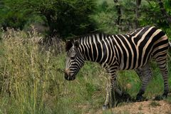 Zebra eating from a large patch of grass stock photography