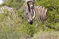 Zebra eating leaves Stock Photo