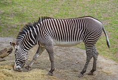 Zebra is eating on the meadow in summer. Time Stock Photos