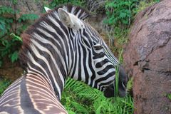 Zebra eating plants. Zebra relaxing near some ferns eating plants Royalty Free Stock Images