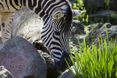 Zebra eating plants Stock Images