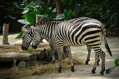 Zebra eating in Singapore Zoo Royalty Free Stock Photos