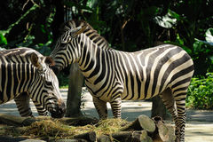 Zebra eating in Singapore Zoo. Close up of Zebra eating in Singapore Zoo Royalty Free Stock Images