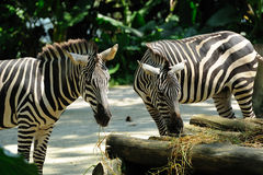 Zebra eating in Singapore Zoo. Close up of Zebra eating in Singapore Zoo Stock Photography