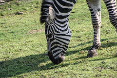 Zebra eating some grass on a meadow. In a wildlife zoo Stock Images