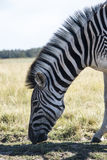 Zebra eating. A zebra eating, South Africa Stock Photography