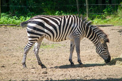 Zebra. Eating there lunch on a sunny day royalty free stock images