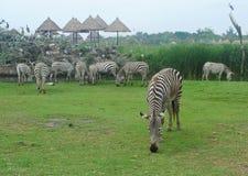Zebra eatting grass. The zebra eating grass in Thailand Stock Photo
